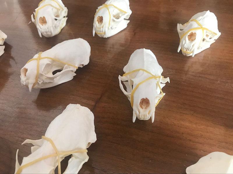 10pcs Real mink skulls, fine animal specimens, skull gifts skulls (see pictures)