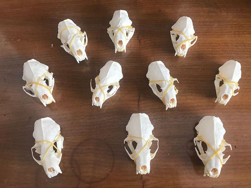 fine animal specimens 1pcs Real mink skulls skull gifts skulls /&007