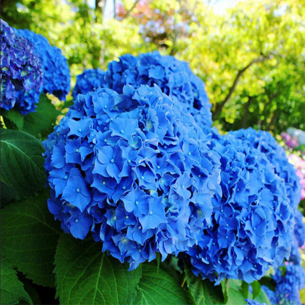 Various Exotic Hydrangea Orchid Ideal Garden Potted Seeds Rare – Rare Garden Plants