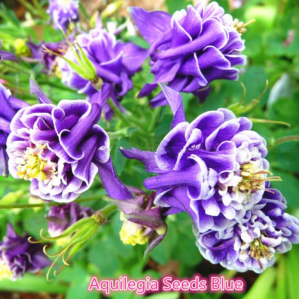 50 aquilegia seeds violet columbine petticoat rare flower garden