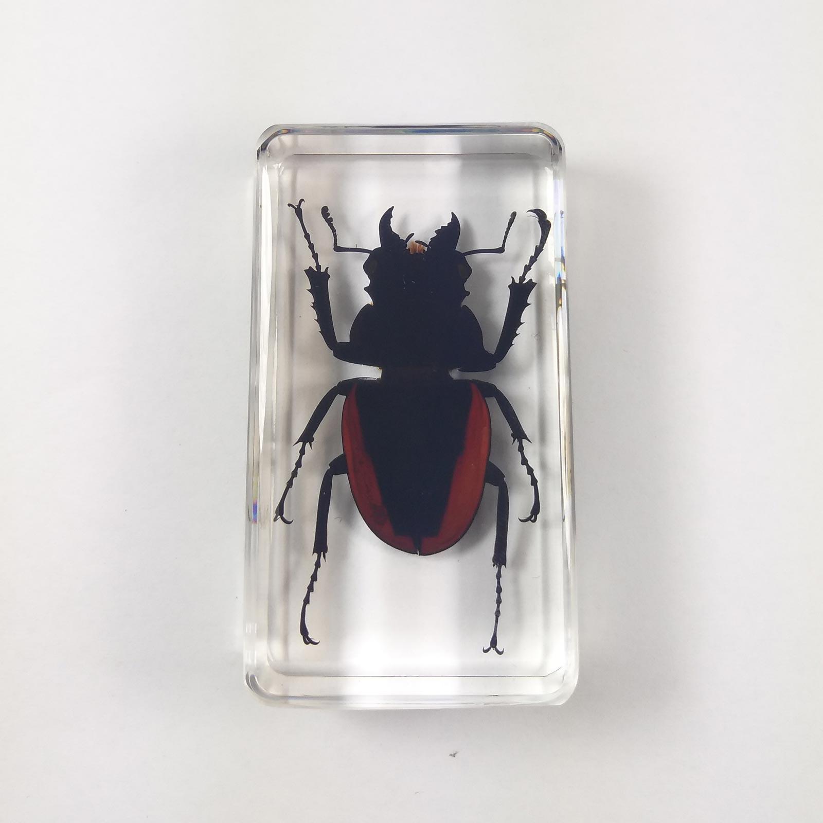 Real Insect Specimen Black Brown Stag Beetle Transparent Polymer Resin Display