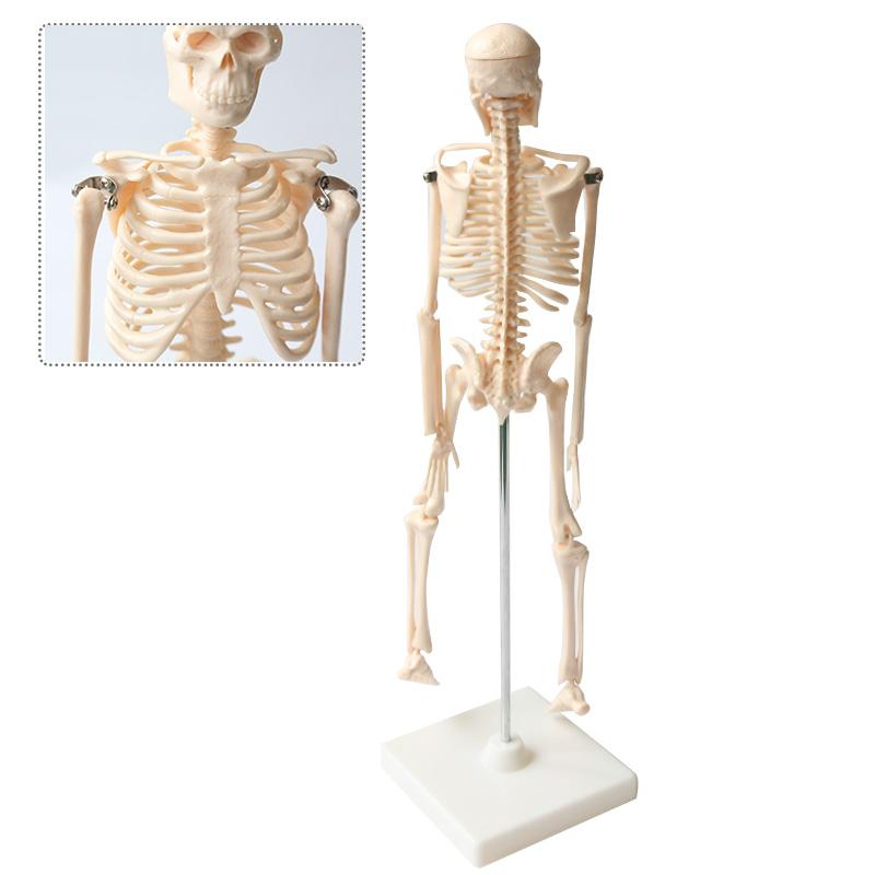 Ungewöhnlich Mensch Zurück Skelett Ideen - Menschliche Anatomie ...