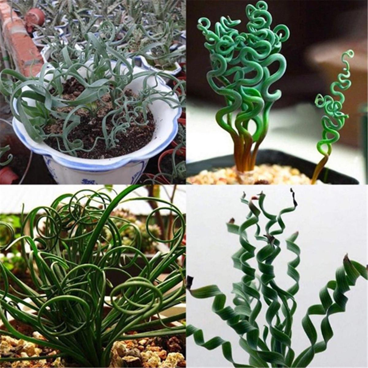 200 Pcs Rare Spiral Grass Flower Seeds Succulents Plant Grass Seeds Home Garden Ebay