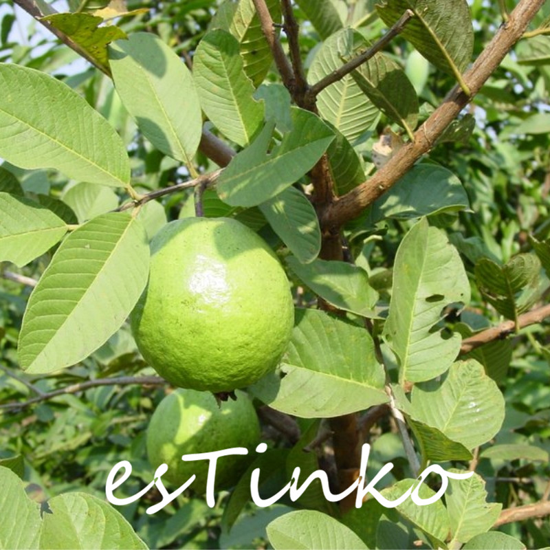 Details about 200pcs Guava Seeds Psidium Guajava Tropical Fruit Plant Fruit  Tree Seeds Bonsai