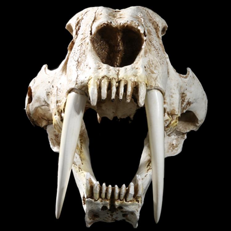 Smilodon Saber Tooth Sabertooth Tiger 1:1 Replica Skull ...
